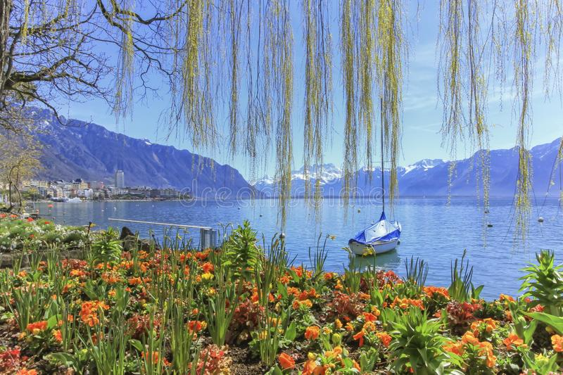 Colorful springtime flowers at Geneva lake and Alps mountains in royalty free stock image
