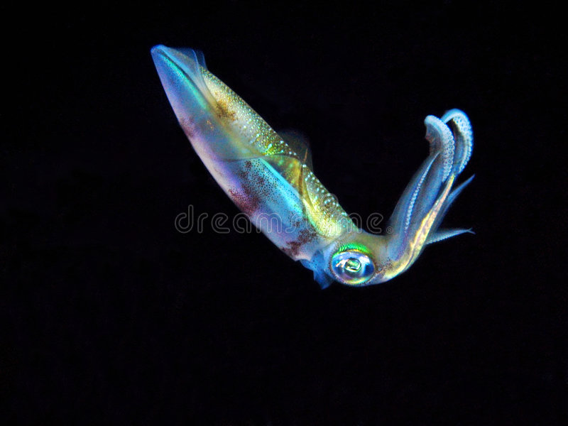 Colorful Squid stock photography
