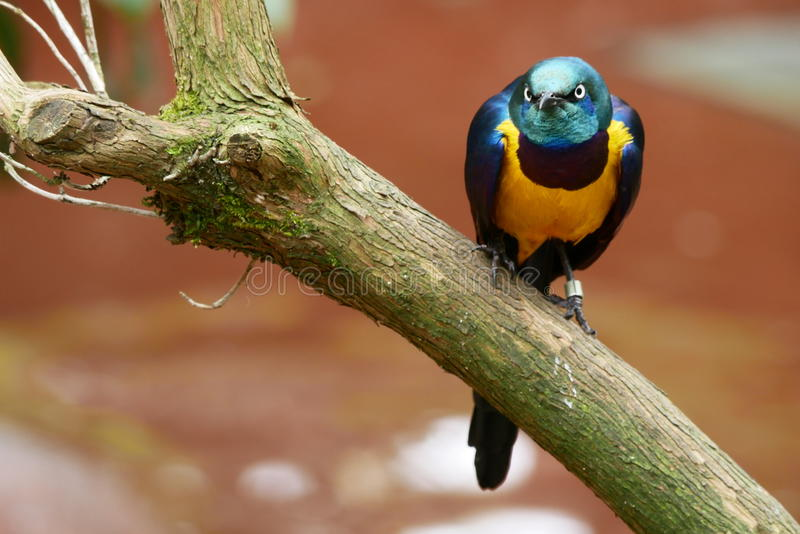 A Colorful Starling Bird. A greater blue-eared Starling perched on a branch stock photography