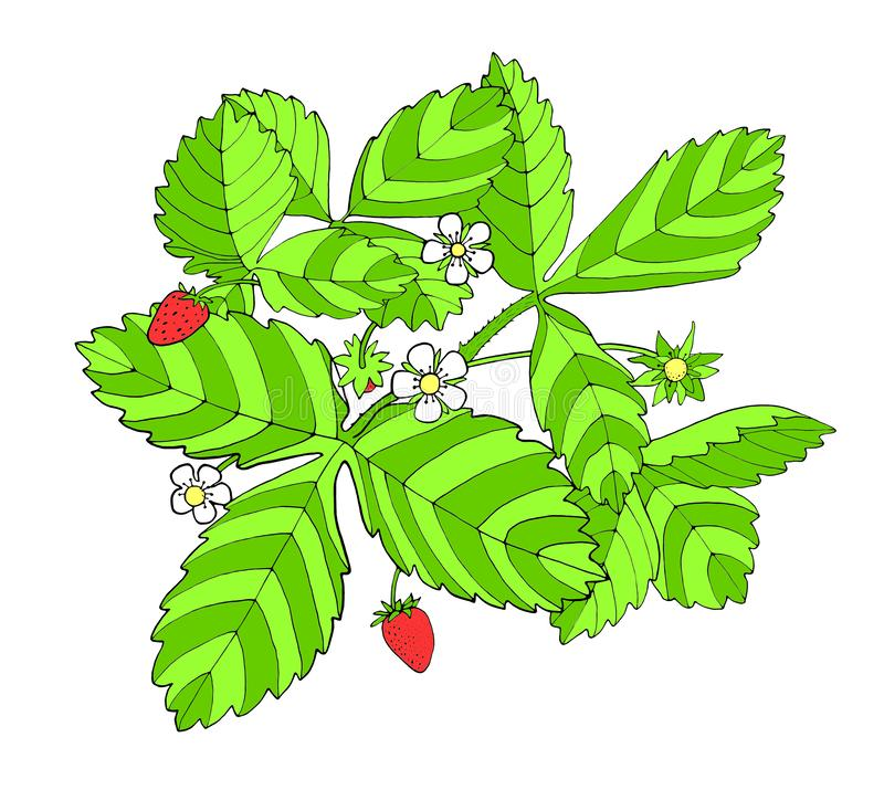 Colorful strawberry bush with flowers, leaves and berries. Hand drawn graphic sketch illustration for decoration, design.  royalty free illustration