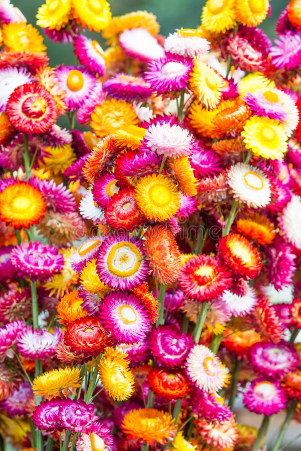 Download Colorful strawflowers stock image. Image of paper, natural - 37088929