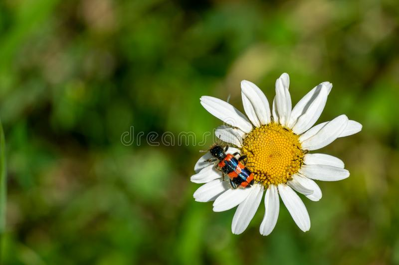 Colorful striped red-black beetle Trichodes apiarius, Cleridae sitting on white daisy flower Leucanthemum vulgare stock image