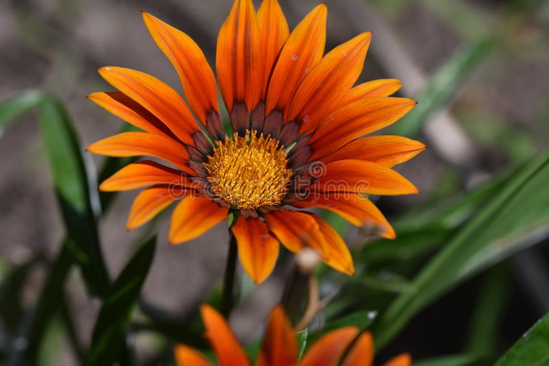 Colorful summer flower close up in the sunshine stock photography