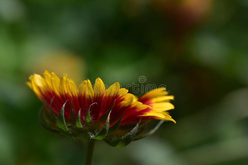Colorful summer flower close up in the sunshine stock image