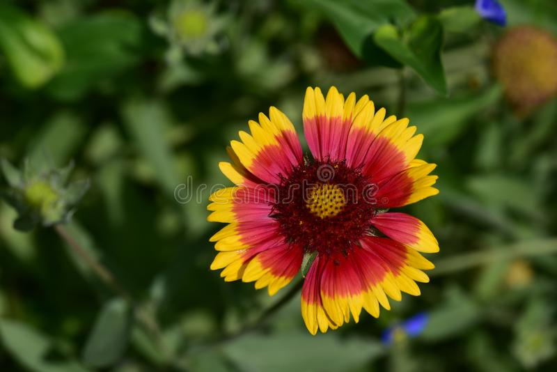 Colorful summer flower close up in the sunshine royalty free stock image