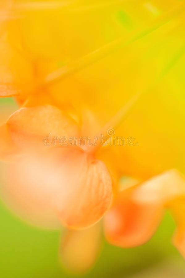 Colorful of summer, soft focus on Ashoka flowers are in bloom, abstract shape and sweet colors, green leaves blurred backgrounds. Close-up stock photography