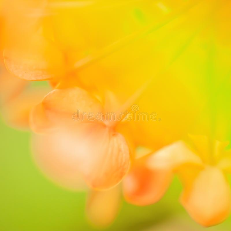 Colorful of summer, soft focus on Ashoka flowers are in bloom, abstract shape and sweet colors, green leaves blurred backgrounds. Close-up. Soft focus stock photos