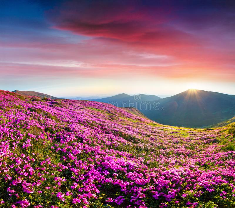 Colorful summer sunrise with fields of blooming rhododendron flo stock photography