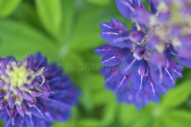 Colorful summer wildflower lupine close up photo. Colorful summer wildflower lupine. Close up photo stock images