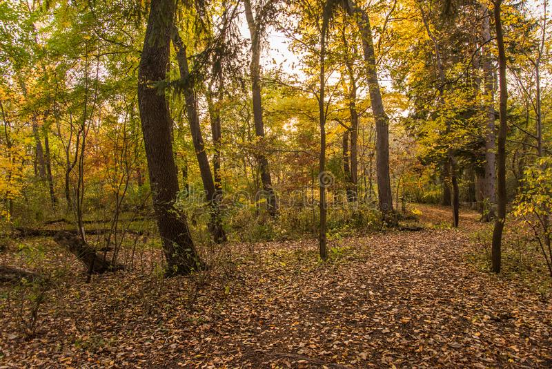 Colorful sunlit fall forest with fallen leaves covering the ground. Fall Forest Landscape stock photography