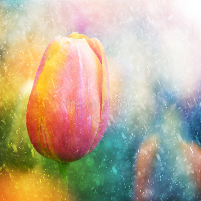 Free Colorful Sunny And Rainy Tulip Flower Stock Photography - 60827442