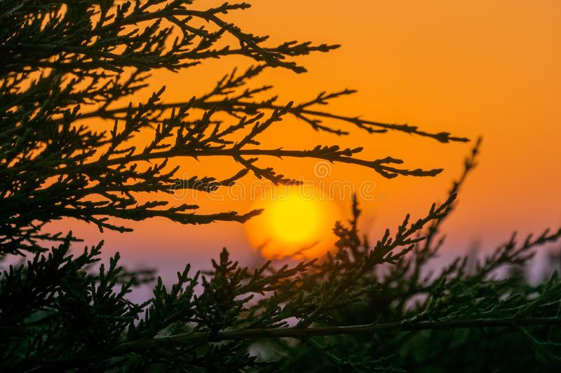 Colorful sunset seen through the branches of an evergreen tree, Moss Beach, California royalty free stock images