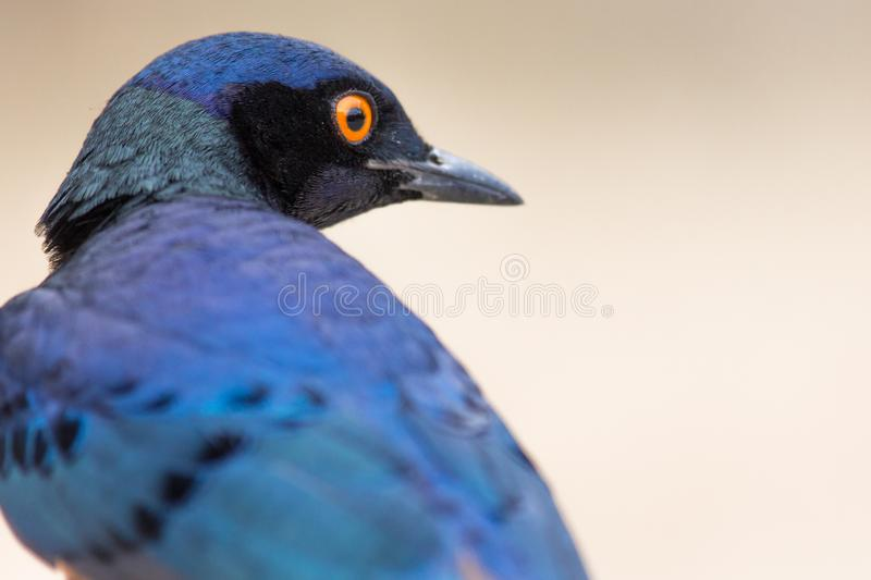 A colorful Superb Starling in Tanzania. `s Ngorongoro Crater stock images