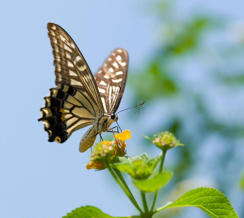 Colorful swallowtail butterfly flying. And feeding under blue sky stock images