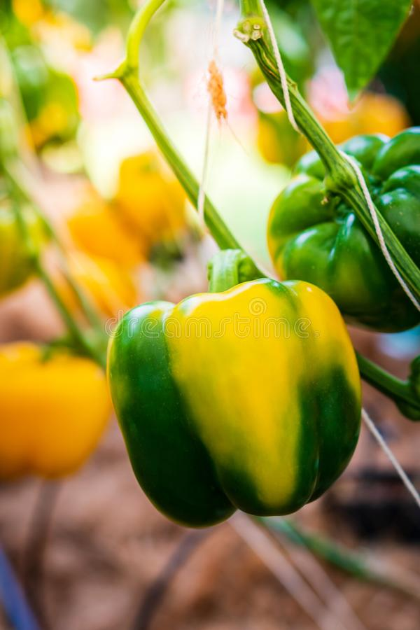 Bell pepper on the plant royalty free stock images