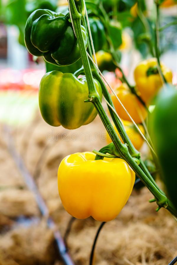 Bell pepper on the plant stock photo