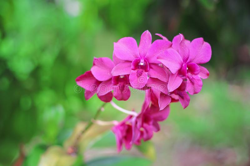 Colorful sweet pink or purple orchid flowers or  dendrobium blooming in garden royalty free stock photo