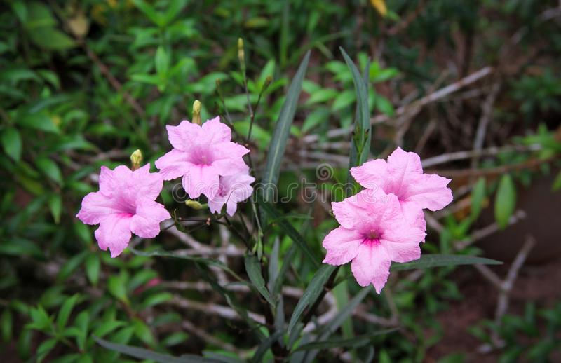 Colorful  sweet pink waterkanon or ruellia tuberosa blooming and bud flower in garden , four pink inflorescence with green stem stock photos