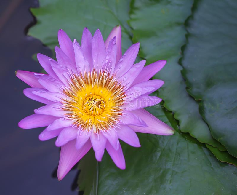 Colorful sweet purple lily lotus flowers blooming and green leaves  nature pond background top view stock photography