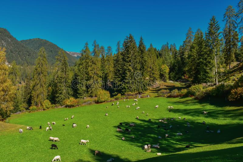Colorful swiss autumn landscape with sheep in Filisur royalty free stock images