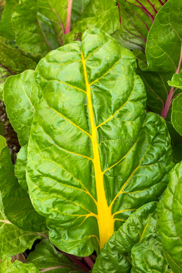 Colorful Swiss Chard royalty free stock photos