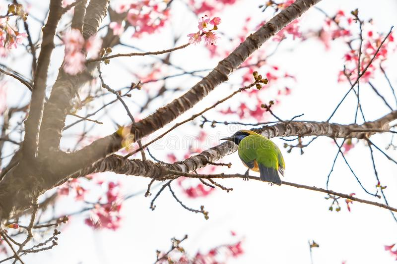 A colorful tiny Orange-bellied Leafbird perch on Wild Himalayan Cherry branch stock photography