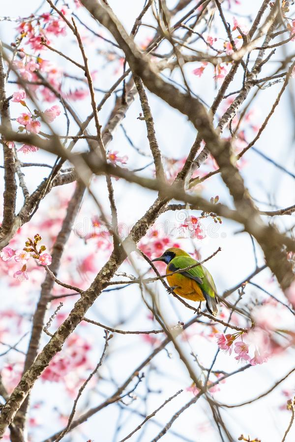 A colorful tiny Orange-bellied Leafbird perch on Wild Himalayan Cherry branch stock photos