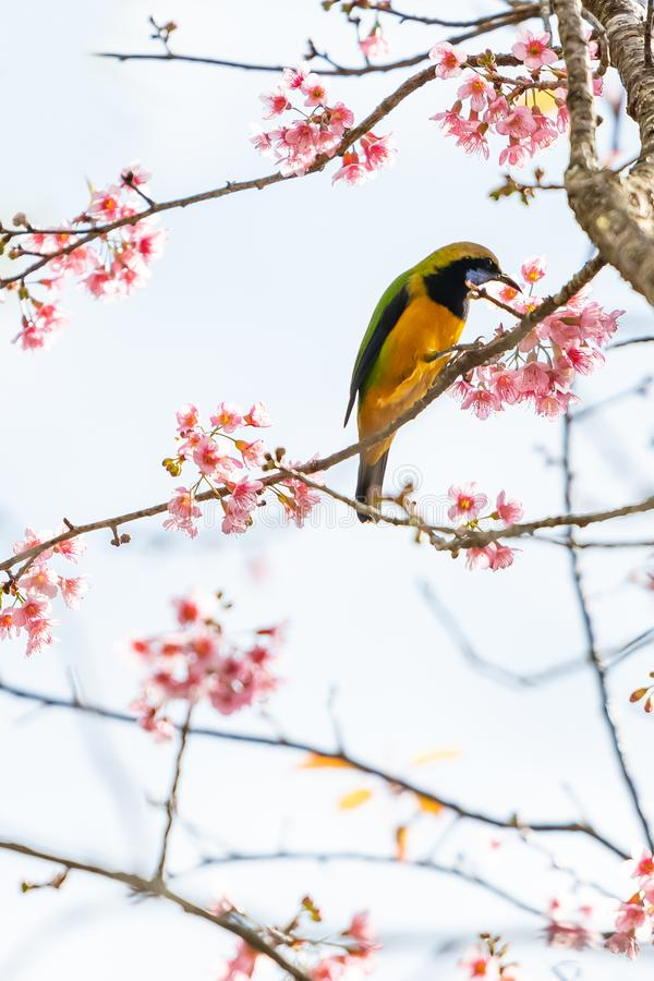 A colorful tiny Orange-bellied Leafbird perch on Wild Himalayan Cherry branch royalty free stock image