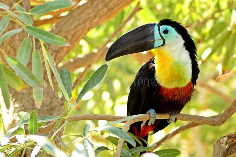 Toucan sitting on a bench in the jungle royalty free stock images