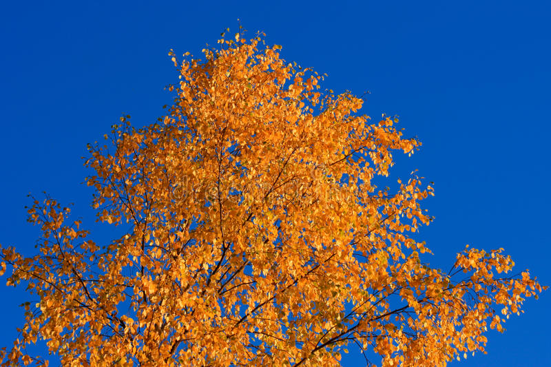 Colorful Tree in Autumn royalty free stock photo