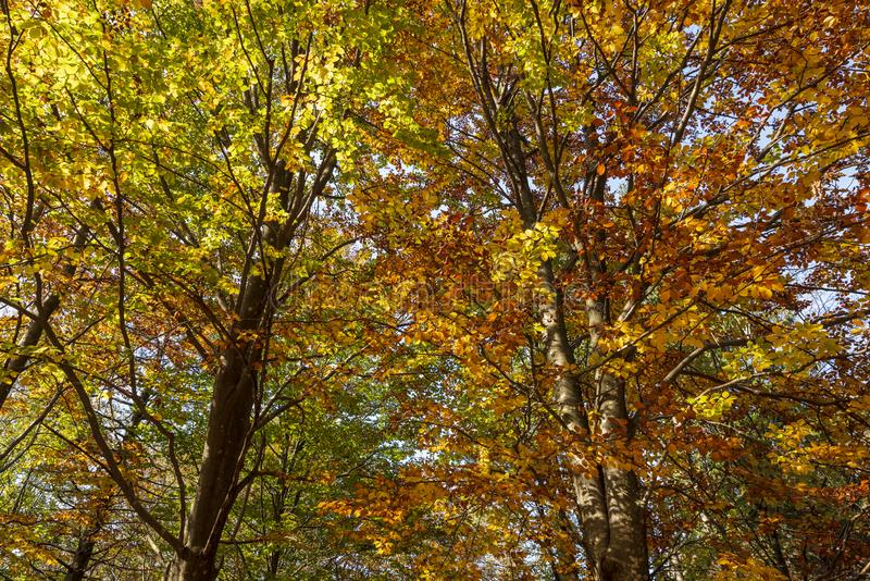Colorful tree crowns in the woods in autumn royalty free stock photo