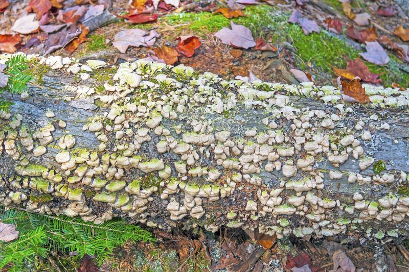 Colorful Tree Fungus on a Forest Log royalty free stock photos