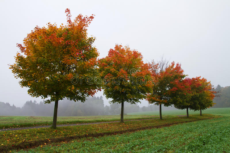 Colorful trees in autumn. And fog stock images