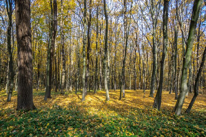 Colorful trees in the autumn forest. In Ukraine stock image