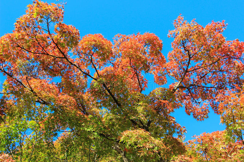 Colorful trees with blue sky background. In Japan stock photo