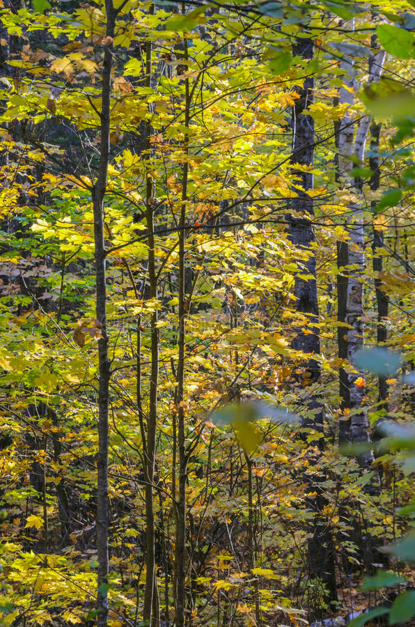Colorful trees. Fall colorful trees in Algonquin park . Ontario, Canada royalty free stock photos