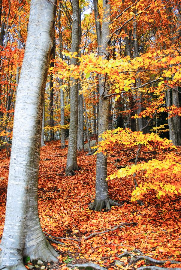 Colorful trees and leaves in autumn in the Montseny Natural Park in Barcelona, Spain stock photo