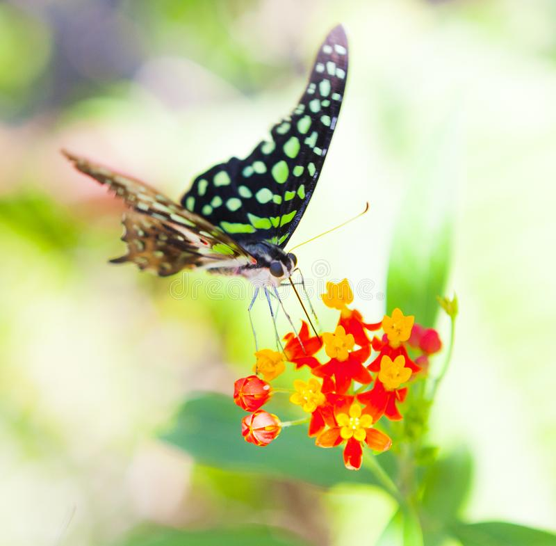 Colorful tropical butterfly using tongue to extract nectar from flowers royalty free stock photo