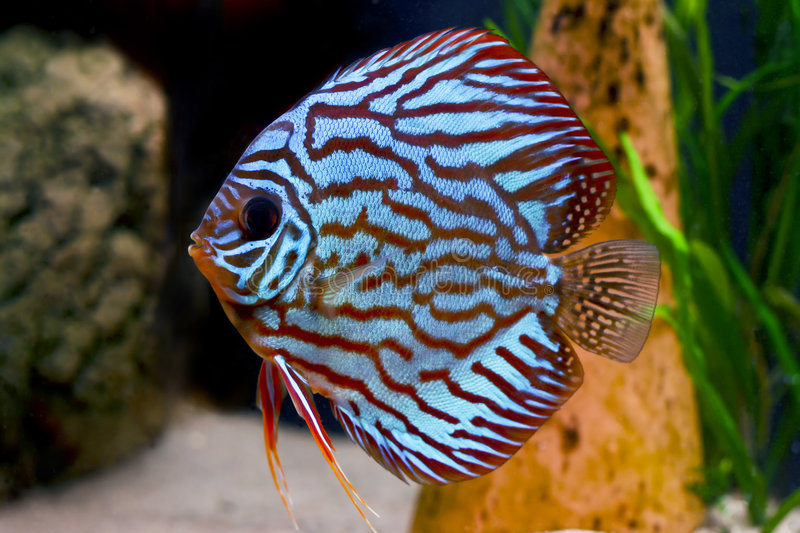 Colorful Tropical Discus Fish Stock Images
