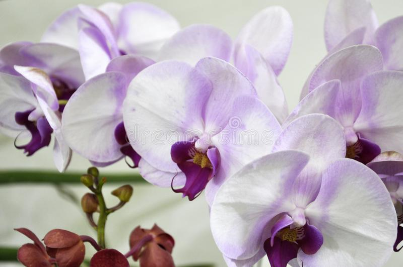 Colorful tropical & exotic orchids flower. KUALA LUMPUR, MALAYSIA -AUGUST 25, 2018: Colorful tropical & exotic orchids flower in plants nursery royalty free stock image