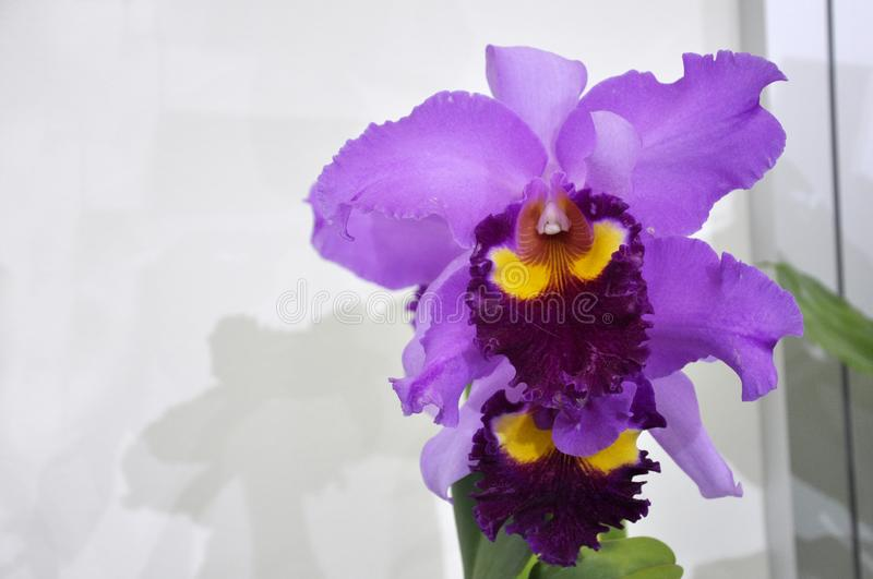 Colorful tropical & exotic orchids flower. KUALA LUMPUR, MALAYSIA -AUGUST 25, 2018: Colorful tropical & exotic orchids flower in plants nursery royalty free stock photography