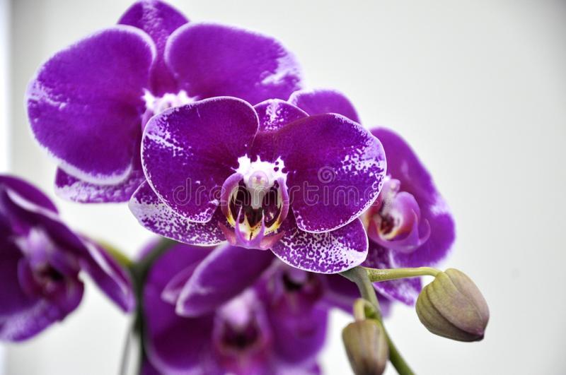 Colorful tropical & exotic orchids flower. KUALA LUMPUR, MALAYSIA -AUGUST 25, 2018: Colorful tropical & exotic orchids flower in plants nursery stock photography