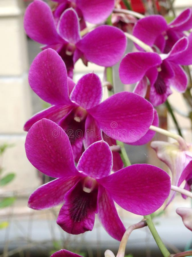 Colorful tropical & exotic orchids flower. KUALA LUMPUR, MALAYSIA -AUGUST 25, 2018: Colorful tropical & exotic orchids flower in plants nursery stock photos