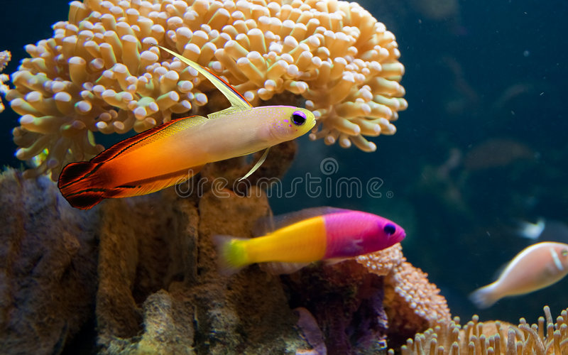 Colorful tropical fish royalty free stock image