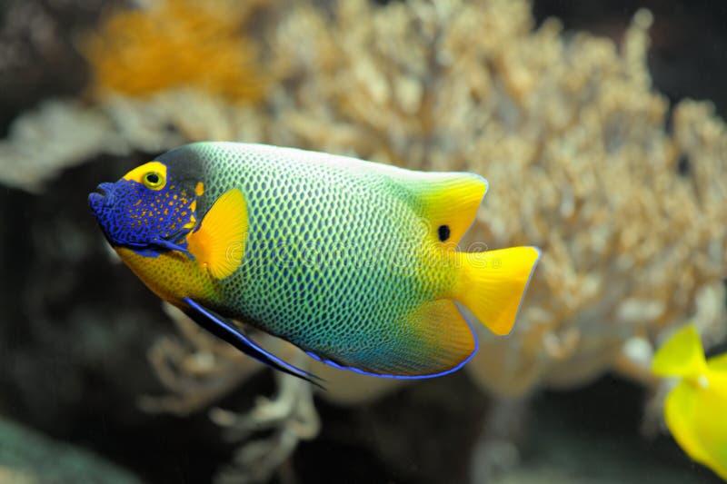 Colorful tropical fish angelfish stock photo