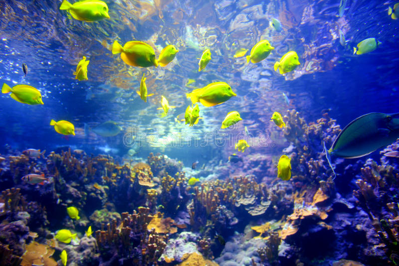 Colorful tropical fish living in coral reefs of Maui, Hawaii royalty free stock images