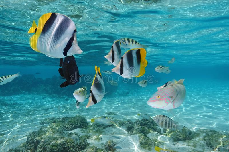 Colorful tropical fish underwater in a lagoon royalty free stock photo