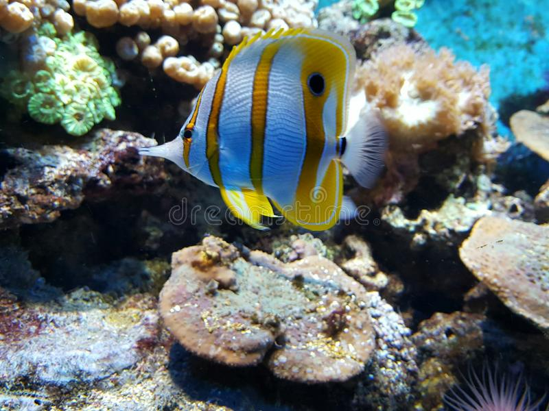 Colorful tropical fish. Colorful yellow and white striped tropical fish in an aquarium royalty free stock image