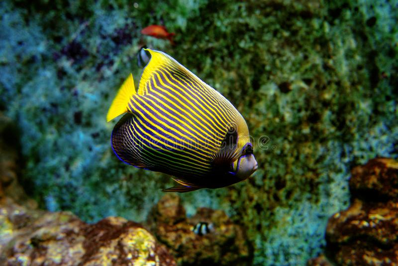 Colorful tropical fishes and coralls underwater. In the aquarium in the zoo royalty free stock photos
