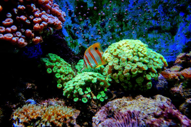 Colorful tropical fishes and coralls underwater. In the aquarium in the zoo royalty free stock image